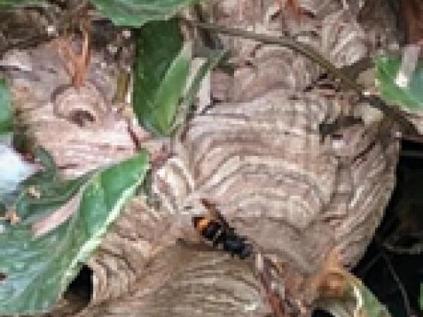 Nids de frelon asiatique